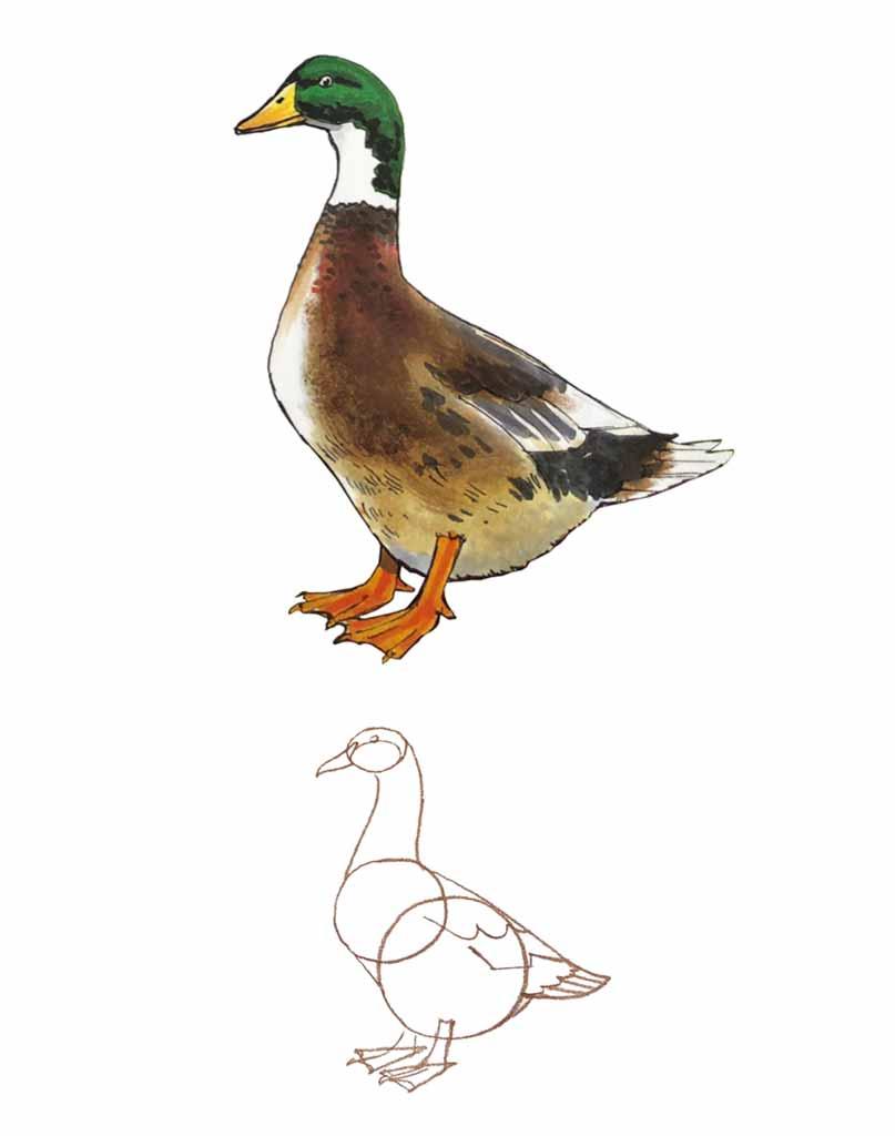 Jak narysować kaczkę