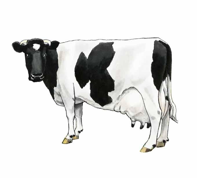 Jak narysować krowę?